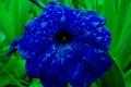 Picture flowers, garden, Petunia