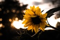 Picture Sunset, Autumn, Macro, Garden, Sunflower