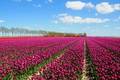 Picture a lot, houses, the sky, field, clouds, trees, tulips
