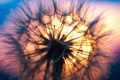 Picture macro, the evening, Dandelion, flower, sunset