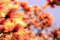 Picture Flower, Blurred, Orange, Magnolia