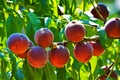 Picture the sun, greens, fruit, fruit, peaches, branches, leaves