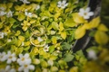 Picture ring, white petals, leaves