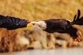 Picture Bald eagle, predator, flight, bird, wings
