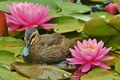 Picture flowers, beauty, duck