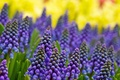 Picture flowers, Muscari, razmytost