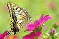 Picture yellow, macro, flower, pink, beauty, butterfly, beautiful, butterfly, colorful
