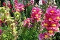 Picture photo, Closeup, Snapdragons, Flowers