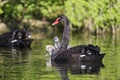 Picture ©Tambako The Jaguar, Swan, pond, bird