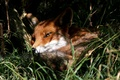 Picture summer, Fox, nature