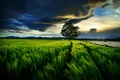 Picture tree, clouds, wheat, the sky, field