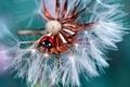 Picture macro, dandelion, ladybug, beetle