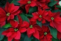 Picture flowers, Christmas star, red, puansetiya, leaves