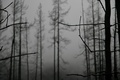 Picture trees, fog, Branches