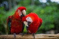 Picture parrots, feathers, bird, red