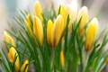 Picture spring, crocuses, yellow, buds