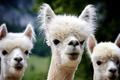 Picture animal, furry, Alpaca