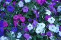 Picture white, purple, pink, Flowers