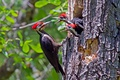 Picture nature, Male Pileated Woodpecker, birds