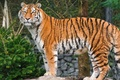 Picture tiger, predator, Amur