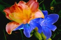 Picture flowers, touch, paint, Lily, petals, line