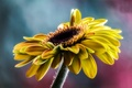 Picture macro, sunflower, petals