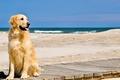Picture sand, wave, beach, Dog, Retriever