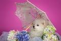 Picture Spitz, white, hydrangea, puppy, umbrella
