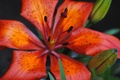 Picture flowers, beauty, macro, Lily, Bud, Lily, red, flower, orange, inspiration