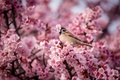 Picture flowers, nature, bird, spring, Sparrow, Cherry, pink