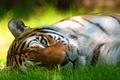 Picture summer, grass, mustache, look, face, strips, tiger, interest, shadow, lies