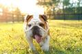 Picture grass, nature, Park, lawn, dog, day, walk, solar, bokeh, English bulldog, pedigree, happy, wallpaper., bulldog, ...