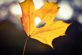 Picture heart, sheet, light, heart, maple, bokeh, yellow, autumn