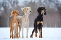 Picture Saluki, dogs-h, snow, dogs, winter, open-air, slider