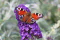 Picture eyes, butterfly, purple