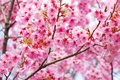 Picture branches, beauty, spring, colorful, Sakura, Sakura, flowering, blossom, Spring, cherry, Flowering trees