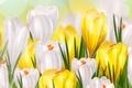 Picture flowers, figure, flowers, Krokus