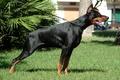Picture dog, Doberman, dobermann