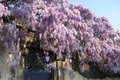 Picture flowers, flowers, spring, flowering, the door, the fence, wisteria, flowering, Wisteria, spring
