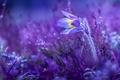 Picture pulsatílla grandis, cross large, primrose, spring, sleep-grass, flower, sleep great