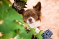 Picture look, dog, muzzle, grapes, Chihuahua