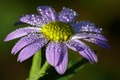 Picture flower, drops, Rosa, lilac