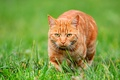 Picture look, grass, red cat