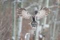 Picture owl, wings, flight, winter, bird, great grey owl