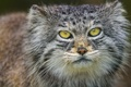 Picture portrait, look, cat, manul, ©Tambako The Jaguar, face