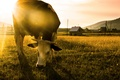 Picture morning, field, cow