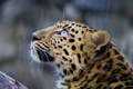 Picture mustache, face, leopard, leopard, look up
