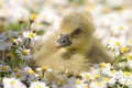 Picture Geese, Flowers, Small, Daisies
