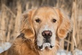 Picture dog, Golden Retriever, Golden Retriever, look, snow, dog, face