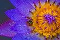 Picture macro, frog, petals, frog, water Lily, Lily, Nymphaeum